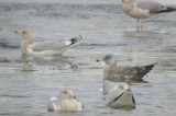 dark 3rd yr? Herring gull Silver lake Wilmington