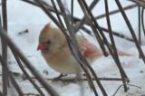 partially leucistic cardinal wilmington