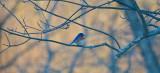 pretty winter blue bird middleton ipswich river