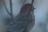 interesting house finch wilmington, note slight hook on bill reddish back