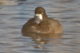 greater scaup niles pond