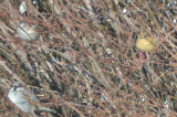 yellowish house sparrow newburyport downtown