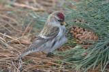 Hoary redpoll ??? large frosty, little streaking on undertail coverts Salisbury