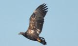 ( massive) 3rd yr bald eagle Nahant