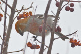 pine grosbeak nashua n.h.