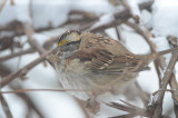 no idea what is going on with this white-throated sparrow tongue, poor guy