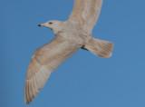 nelsons_gull_hergxglaucous_hybrids