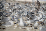 feasting on clams washed up from Nemo revere beach