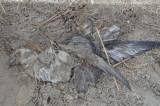 northern fulmar? dead from Nemo most likley revere beach