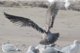 nice! large gull, potential for other than Herring, but what?