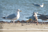 small gull below right/middle not sure, looks almost Cal gull like?
