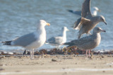 small gull below right not sure, looks almost Cal gull like?