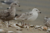 leucistic_great_blackbacked_gull_revere