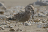 1st yr LBBG Revere ???? Beach, same as one in Wilmington? could be