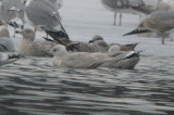 iceland (kumlien's) silver lake record shot
