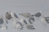 iceland gull ebird record shot silver lake