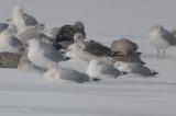 LBBG silver Lake ebird record shot