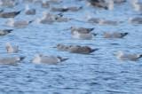 darkish_mantled_gull_silver_lake