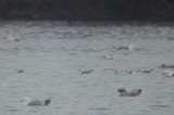 bonapartes gulls silver lake wilmington