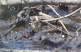 louisiana waterthrush nahant thicket