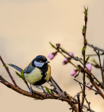Great Tit (I wonder who chose this name for this lovely little bird...)