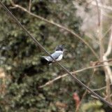 Belted Kingfisher on a wire