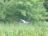 Heron at Manning Lake