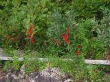 Cardinal Flowers at Manning