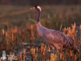 Adult Common Crane