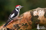 Adult male Middle Spotted Woodpecker