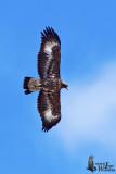 Immature Golden Eagle (presumably 2nd winter)