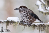 Adult Spotted Nutcracker