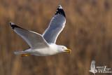 Adult Yellow-legged Gull