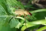 Macrodactylus subspinosus; Rose Chafer