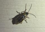 Diabrotica virgifera; Western Corn Rootworm Beetle