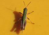 Orphulella speciosa; Slantfaced Pasture Grasshopper