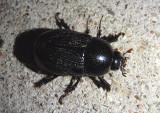 Euetheola humilis; Sugarcane Beetle