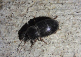 Cratacanthus dubius; Ground Beetle species