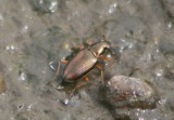 Bembidion confusum; Ground Beetle species