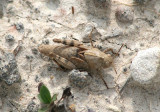Dissosteira carolina; Carolina Grasshopper nymph