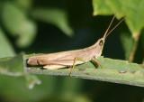 Metaleptea brevicornis; Clip-wing Grasshopper
