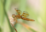 Perithemis intensa; Mexican Amberwing; female