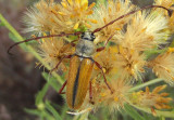 Crossidius suturalis intermedius; Longhorned Beetle species