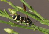 Luecospis affinis; Chalcid Wasp species; female