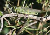 Schistocerca albolineata; White-lined Bird Grasshopper pair