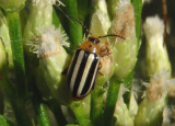 Disonycha glabrata; Pigweed Flea Beetle