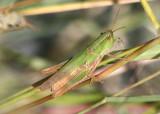 Dichromorpha Slant-faced Grasshopper species; female