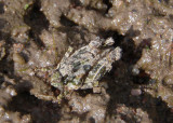 Paratettix mexicanus; Mexican Pygmy Grasshopper