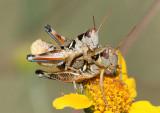 Melanoplus lakinus; Lakin Grasshoppers; mating pair