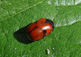 Urodera dilaticollis; Case-bearing Leaf Beetle species